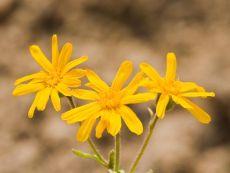 Arnica montana – buy organic seeds online - Bingenheim Online Shop