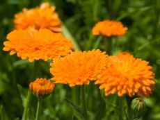 Calendula officinalis (orange) – buy organic seeds online - Bingenheim Online Shop