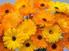 Calendula officinalis (Mischung) – buy organic seeds online - Bingenheim Online Shop