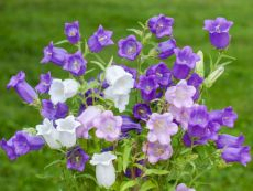 Campanula medium – buy organic seeds online - Bingenheim Online Shop
