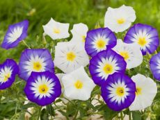 Aufrechte Winde - Bio-Samen online kaufen - Bingenheim Biosaatgut