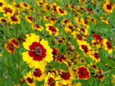 Schöngesicht - Bio-Samen online kaufen - Bingenheim Biosaatgut