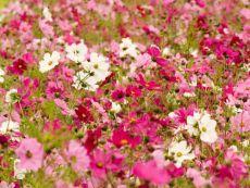 Cosmea (Farbmischung) - Bio-Samen online kaufen - Bingenheim Biosaatgut