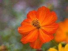 Cosmos sulphureus – buy organic seeds online - Bingenheim Online Shop