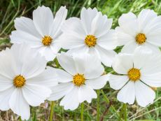 Cosmos bipinnatus (white) – buy organic seeds online - Bingenheim Online Shop