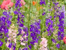 Lanzenrittersporn (Farbmischung) - Bio-Samen online kaufen - Bingenheim Biosaatgut