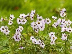 Gilia tricolor – buy organic seeds online - Bingenheim Online Shop
