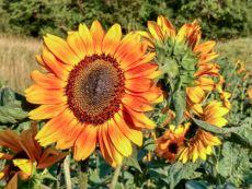 Helianthus annuus 'La Torre' – buy organic seeds online - Bingenheim Online Shop