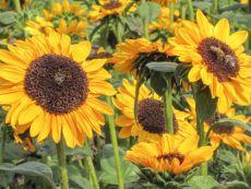 Helianthus annuus 'Hella' – buy organic seeds online - Bingenheim Online Shop