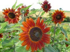 Helianthus annuus 'Velvet Queen' – buy organic seeds online - Bingenheim Online Shop
