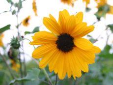 Helianthus debilis – buy organic seeds online - Bingenheim Online Shop