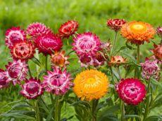 Helichrysum bracteatum 'Monstrosum' – buy organic seeds online - Bingenheim Online Shop