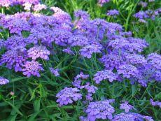Iberis umbellata – buy organic seeds online - Bingenheim Online Shop