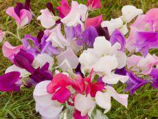 Lathyrus odoratus – buy organic seeds online - Bingenheim Online Shop