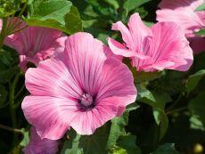 Lavatera trimestris – buy organic seeds online - Bingenheim Online Shop