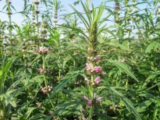 Herzgespann - Bio-Samen online kaufen - Bingenheim Biosaatgut