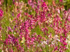 Linaria maroccaria – buy organic seeds online - Bingenheim Online Shop