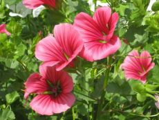 Malope trifida – buy organic seeds online - Bingenheim Online Shop