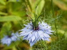 Nigella damascena – buy organic seeds online - Bingenheim Online Shop