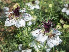 Nigella papillosa – buy organic seeds online - Bingenheim Online Shop