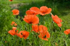 Papaver rhoeas (Field Poppy) – buy organic seeds online - Bingenheim Online Shop