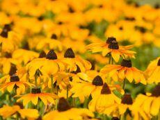 Rudbeckia hirta – buy organic seeds online - Bingenheim Online Shop