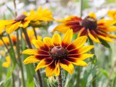 Rudbeckia hirta 'Herbstwald' – buy organic seeds online - Bingenheim Online Shop