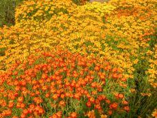 Polsterstudentenblume (Mischung) - Bio-Samen online kaufen - Bingenheim Biosaatgut