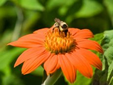 Tithonia rotundifolia – buy organic seeds online - Bingenheim Online Shop