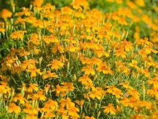 Tagetes tenuifolia – buy organic seeds online - Bingenheim Online Shop