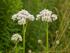 Valeriana officinalis – buy organic seeds online - Bingenheim Online Shop