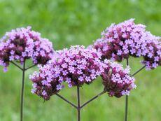 Verbena bonariensis – buy organic seeds online - Bingenheim Online Shop