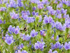 Echium plantagineum – buy organic seeds online - Bingenheim Online Shop
