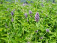 Anise Hyssop – buy organic seeds online - Bingenheim Online Shop