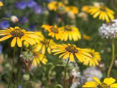 Ursinia calendulifolia – buy organic seeds online - Bingenheim Online Shop