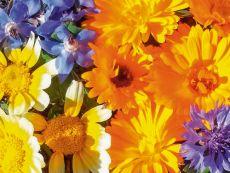 Essbare Blüten - Bio-Samen online kaufen - Bingenheim Biosaatgut