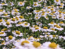 Mutterkraut - Bio-Samen online kaufen - Bingenheim Biosaatgut