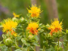 Carthamus tinctorius – buy organic seeds online - Bingenheim Online Shop