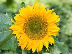 Helianthus annuus 'Sunspot' – buy organic seeds online - Bingenheim Online Shop