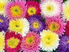 Sommeraster 'Prinova' (Farbmischung) - Bio-Samen online kaufen - Bingenheim Biosaatgut