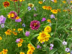 Blühender Balkon – buy organic seeds online - Bingenheim Online Shop
