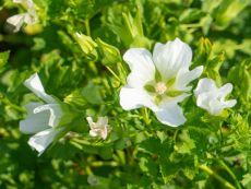 Sommermalve (weiß) - Bio-Samen online kaufen - Bingenheim Biosaatgut
