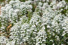 Iberis amara – buy organic seeds online - Bingenheim Online Shop