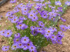 Brachyscome iberidifolia – buy organic seeds online - Bingenheim Online Shop