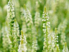 Weiße Reseda - Bio-Samen online kaufen - Bingenheim Biosaatgut