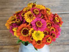 Zinnia violacea – buy organic seeds online - Bingenheim Online Shop