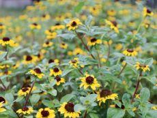 Sanvitalia procumbens – buy organic seeds online - Bingenheim Online Shop