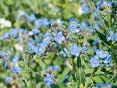 Cynoglossum amabile – buy organic seeds online - Bingenheim Online Shop
