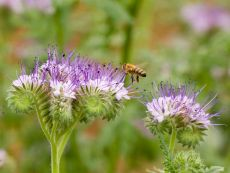 Phacelia tanacetifolia – buy organic seeds online - Bingenheim Online Shop