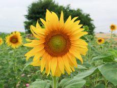 Sunflower – buy organic seeds online - Bingenheim Online Shop